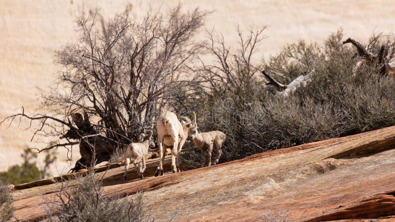 Een woestijn grote gehoornde ooi en haar twee lammerenvoer op een creosoot ringen in Zion nationaal park Utah stock foto's