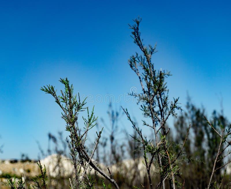 Een woestijnstruik met blauwe hemel op de achtergrond stock foto's