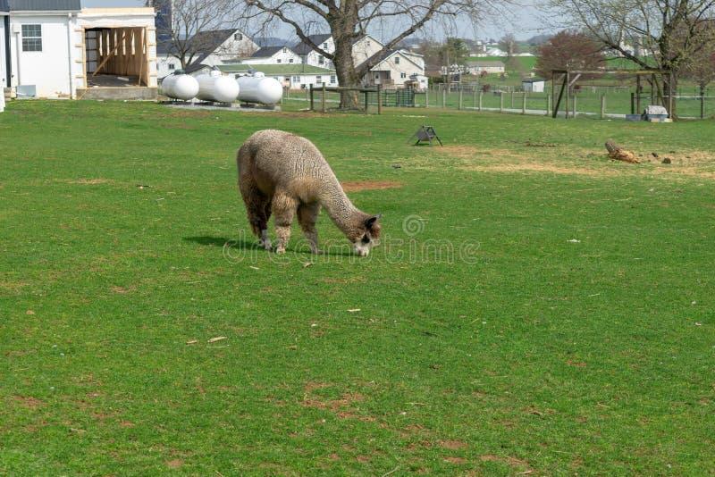 Een wolachtige bruine Alpaca die peacfully op een weelderige groene weide weiden, op een Amish-landbouwbedrijf in de Provincie va stock foto's