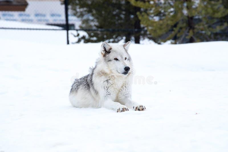 Een wolf bepaalt met de sneeuw in de winter in ontspant tijd royalty-vrije stock afbeelding