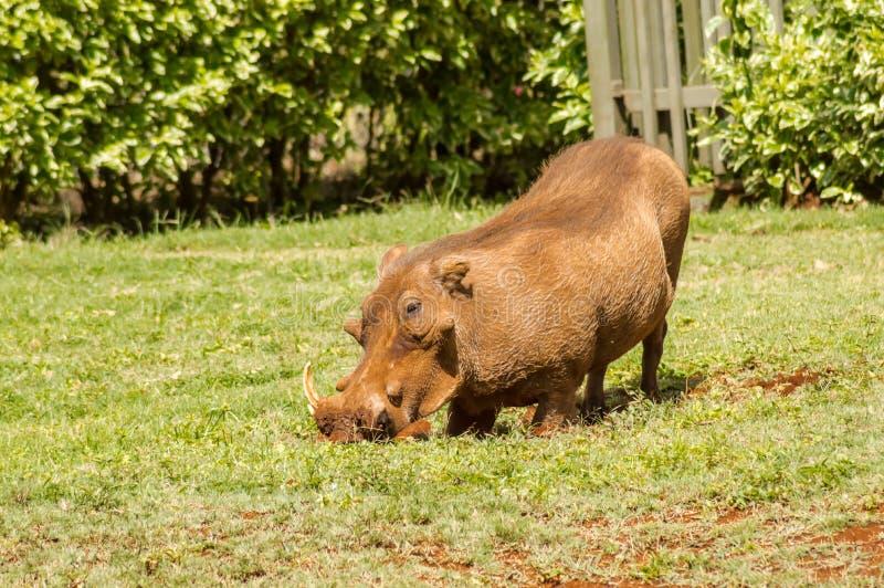 Een wrattenzwijn die enkel uit een borstelstruikgewas te voorschijn komen royalty-vrije stock foto's