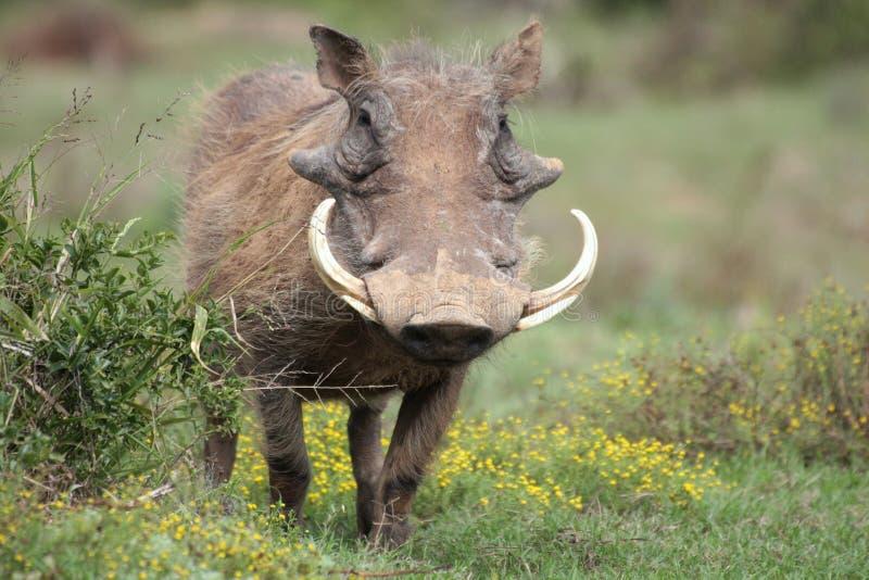 Een wrattenzwijn met grote slagtanden. stock foto's