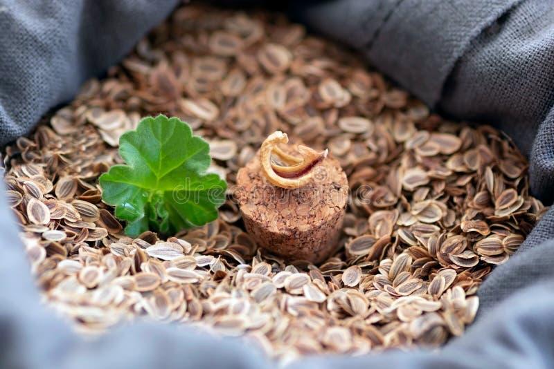 In een zak natuurlijk die vlas met zaden van installaties wordt gevuld piept uit een jong groen blad van een nieuwe installatie N stock afbeelding