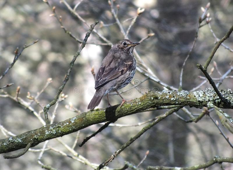 Een zanglijster streek op een mos neer en het korstmos behandelde tak in bos stock fotografie