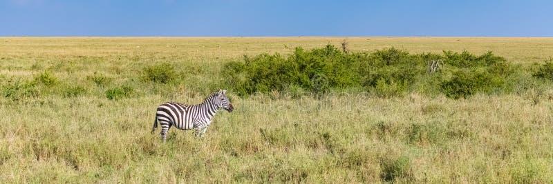 Een zebra verloor alleen in de savanne stock foto's