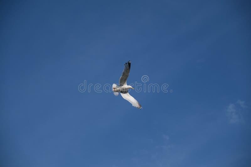 Een Zeemeeuw die elegant in de blauwe hemel duiken stock fotografie