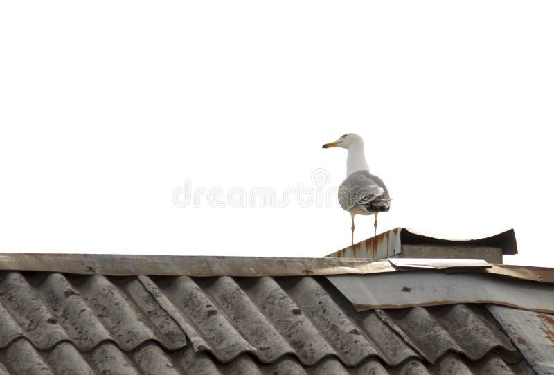 Een zeemeeuwzitting op het dak en de blikken weg stock fotografie