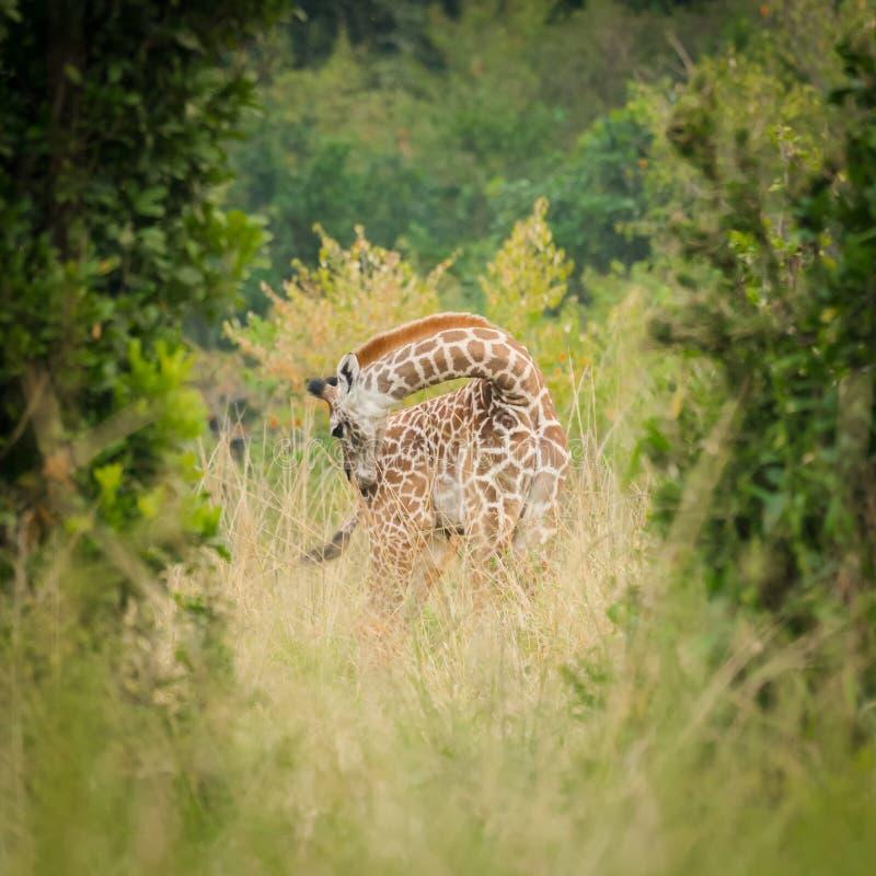 Een zeer jong girafkalf verbergt onder de struiken en de bomen stock foto's