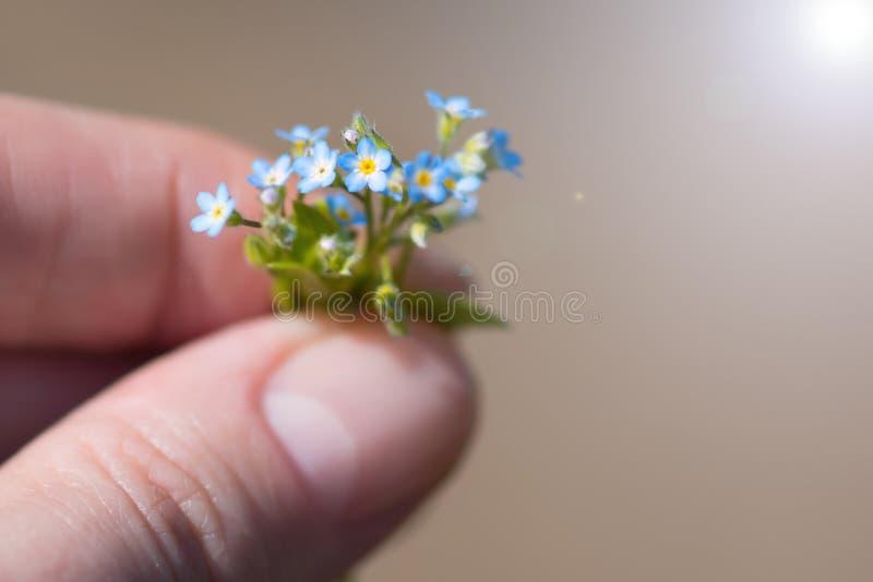 Een zeer klein boeket van vergeet-mij-nietjes in de handen van een jonge vrouw Uiterst kleine vergeet-mij-nietjes, close-up stock foto