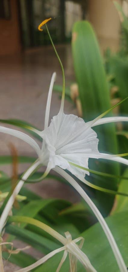 Een zeer mooie witte bloem royalty-vrije stock fotografie
