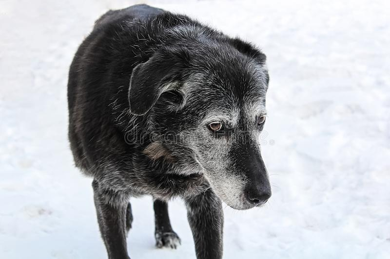 Een zeer oude hogere hond die schuldig kijken stock foto's
