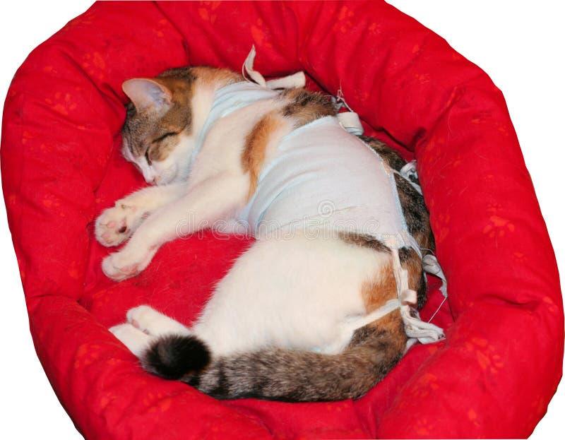 Een zieke kat met een verband na de verrichting is royalty-vrije stock afbeeldingen