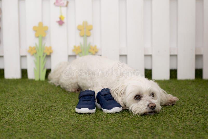 Een zitting van de bichonhond op het gras die een paar schoenen bewaken royalty-vrije stock foto