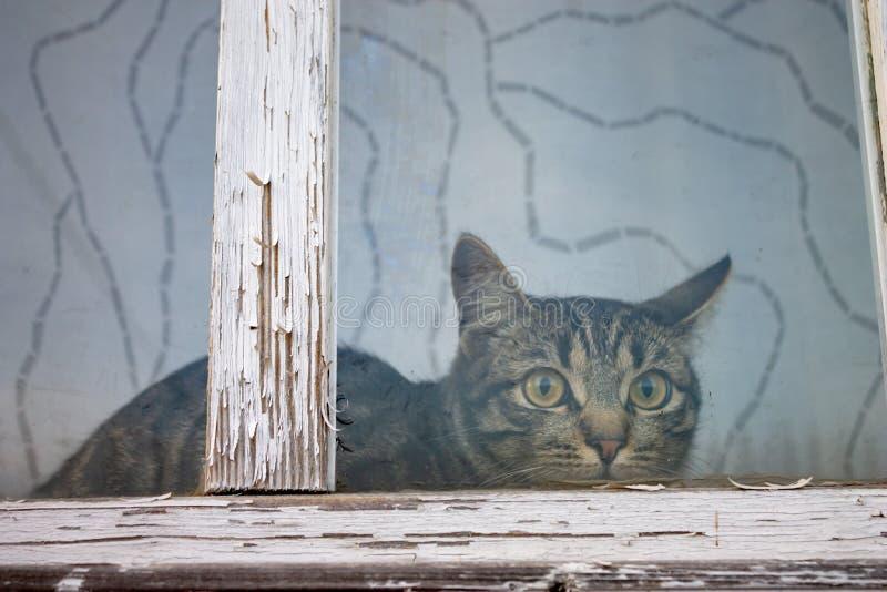 Een zitting van de gestreepte, gestreepte katkat achter een venster met oud wit houten kader met schilverf stock foto's