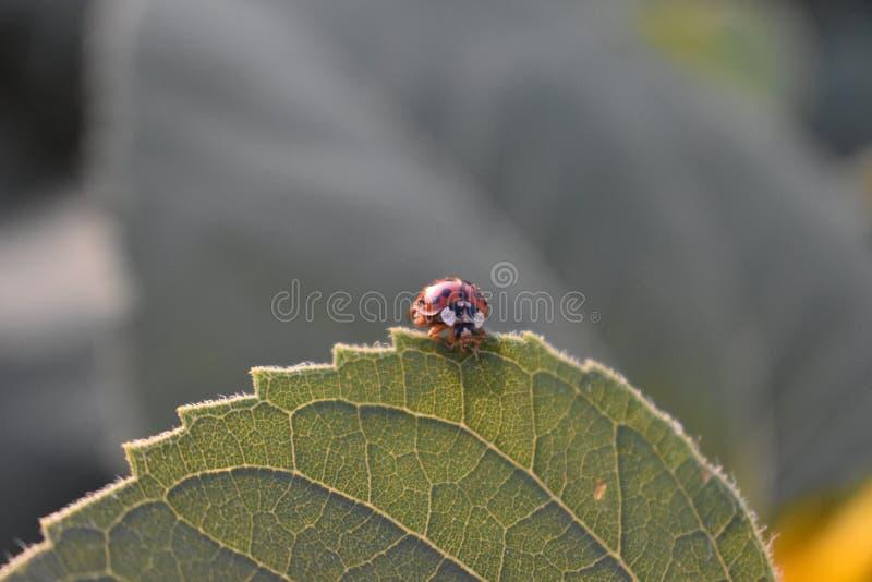 Een zoet lieveheersbeestje rust op het blad royalty-vrije stock fotografie