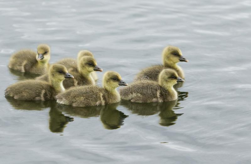 Een zoete familie van Greylag Gansjes die, Anser anser, op een meer zwemmen stock fotografie