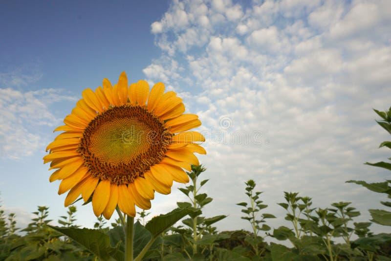 Een zonnebloem draait zijn gezicht aan de wolken en hemel bij zonsopgang royalty-vrije stock foto