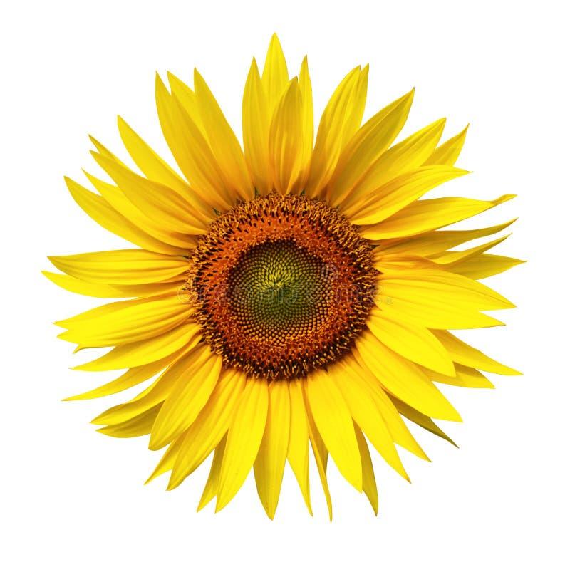 Een zonnebloem op witte achtergrond royalty-vrije stock afbeeldingen