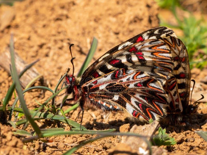 Een Zuidelijke Slingervlinder die ter plaatse rusten royalty-vrije stock fotografie