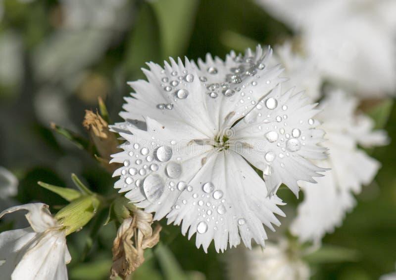Een zuiver wit omzoomd bloemblaadje met dauw daalt, dianthus royalty-vrije stock afbeeldingen