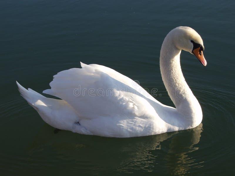 Een zwaan royalty-vrije stock fotografie