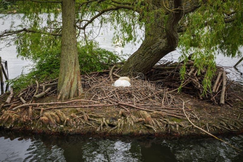 Een Zwaan bouwt zijn nest op een klein eiland op Zuiden Norwood Lake, royalty-vrije stock foto's