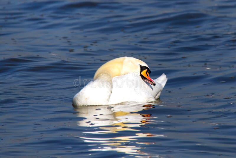 Een zwaan die en op het water met open bek rusten slapen stock afbeelding