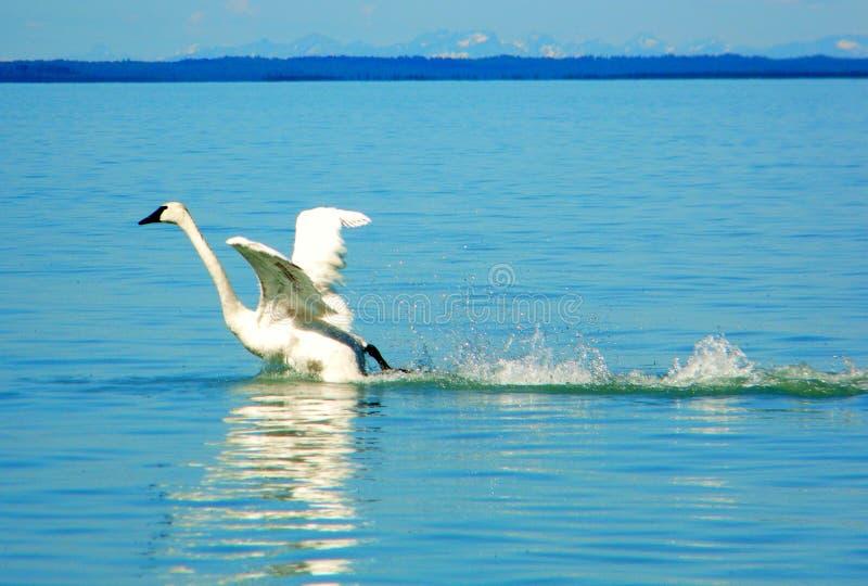 Een zwaan die vlucht nemen royalty-vrije stock fotografie