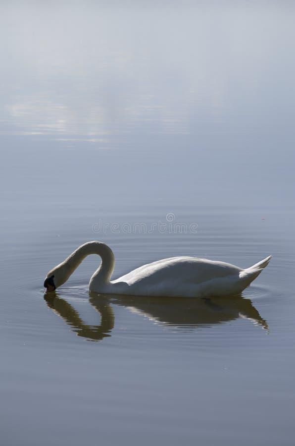 Een zwaan die zijn hoofd in het water onderdompelen die tot een hart leiden royalty-vrije stock fotografie