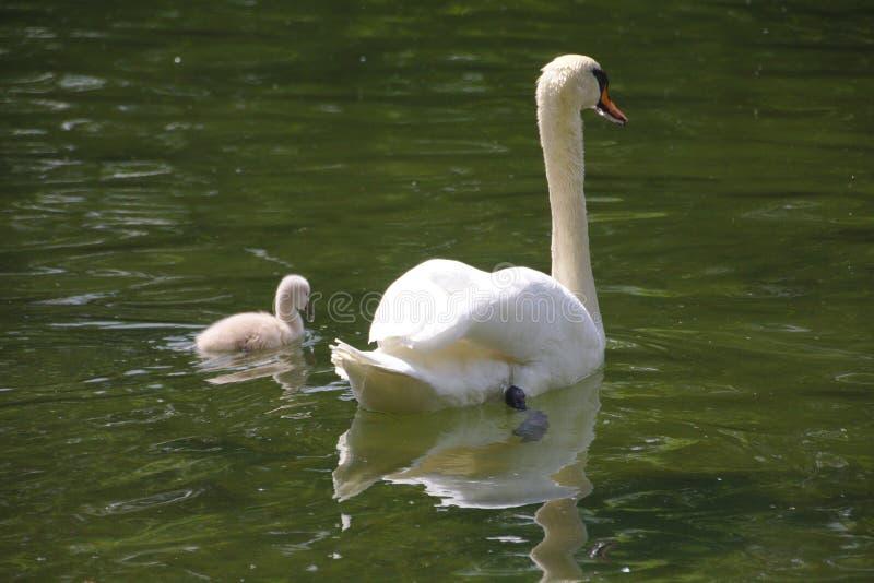 Een zwaan met een kuiken die in het meer zwemmen stock afbeelding