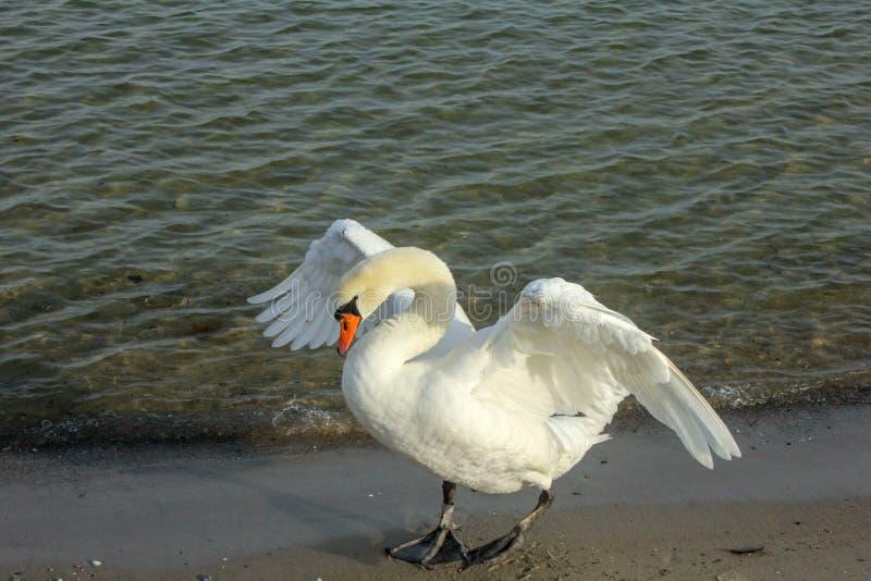 Een zwaan op het water stock foto's