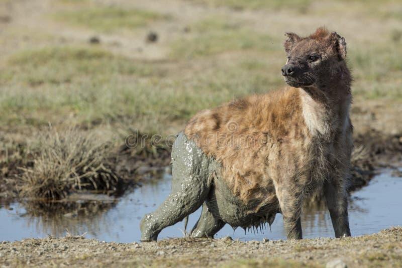 Download Een Zwangere Wijfje Bevlekte Hyena (crocuta Crocuta) Tanzania Stock Foto - Afbeelding bestaande uit tanzania, afrikaans: 29510740
