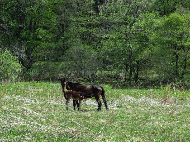 Een zwart paard voedt zijn veulen op de lente groene weide in het bos stock afbeelding