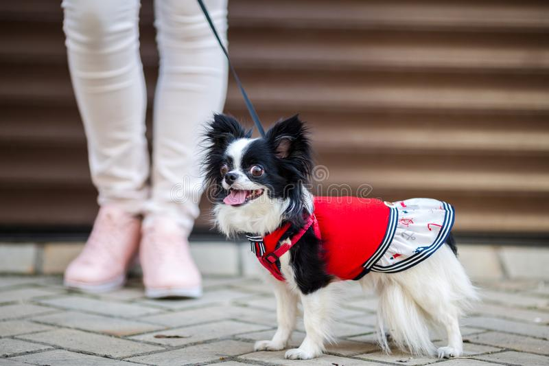 Een zwart pluizig wit, longhaired grappig hond vrouwelijk geslacht met grotere ogen, Chihuahua-ras, gekleed in rode kleding dierl stock afbeeldingen