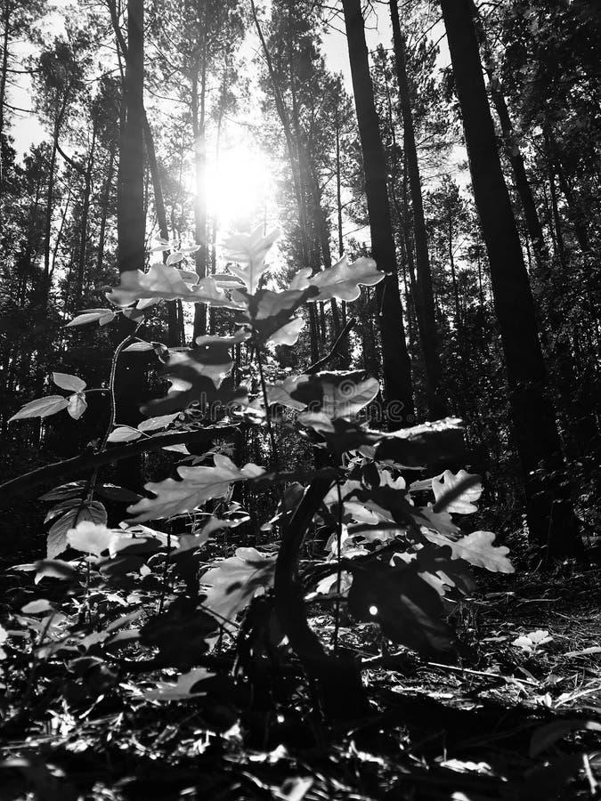 Een zwart-wit schot van een glorierijke ochtend in een bos met lange pijnbomen royalty-vrije stock foto's