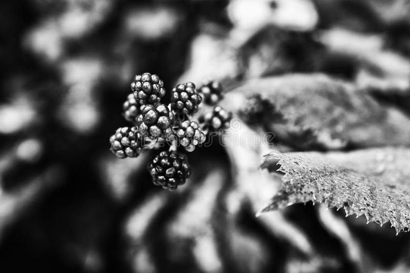 Een zwart-witte bloemenfoto van uiterst kleine bessen op de vage achtergrond royalty-vrije stock foto