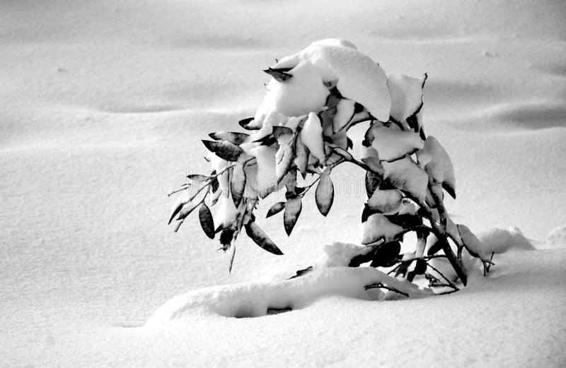 Een zwart-witte die foto van een jong boompje door sneeuw wordt begraven stock foto