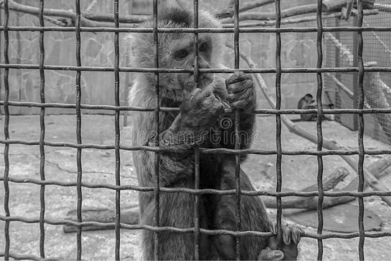 Een zwart-witte foto van een aap stock afbeeldingen