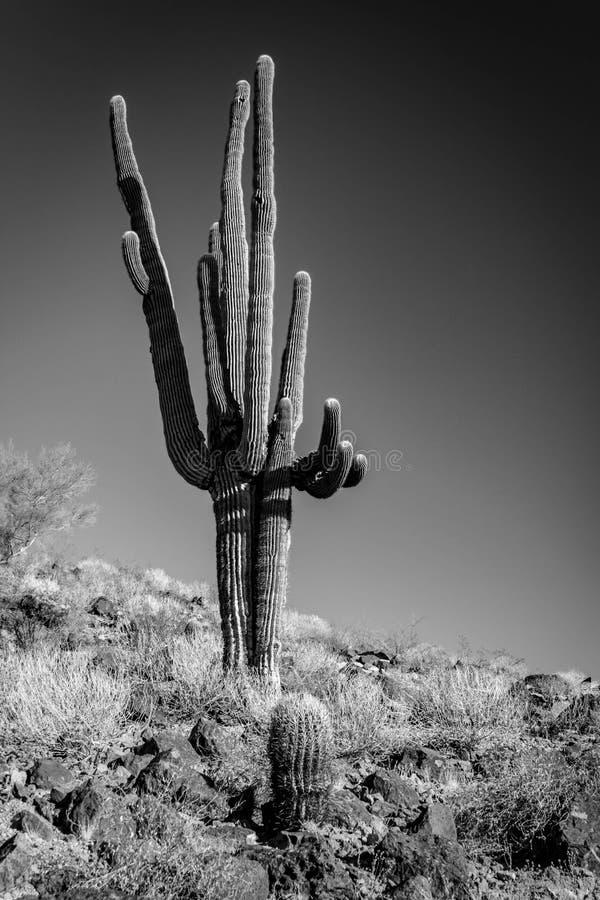 Een zwart-witte foto van een eenzame Saguaro-Cactus aan de kant van een woestijnheuvel stock afbeeldingen