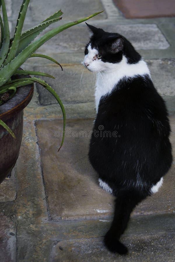 Een zwart-witte kat, één van velen bij de nakomelingen van de zes tenenkat bij het Ernest Hemingway-huis in Key West, Florida royalty-vrije stock afbeelding