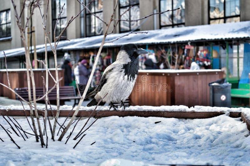 Een zwart-witte Kraai stock foto