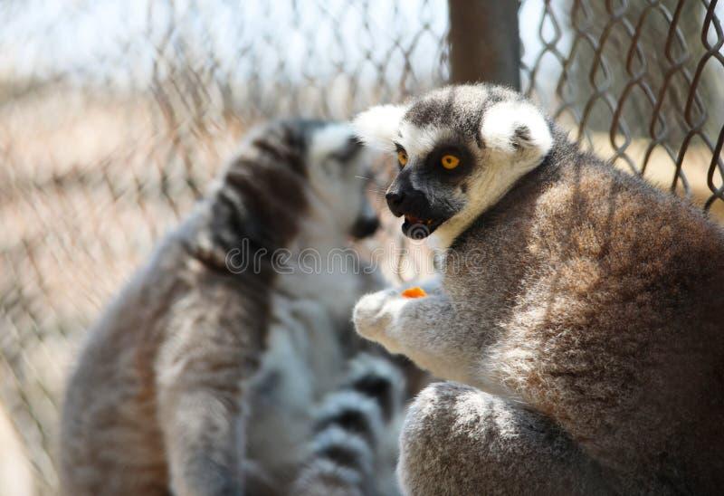 Een zwart-witte maki die aangezien hij een stuk van fruit, strepsirrhine nachtelijke primaten houdt vooruitzien stock foto