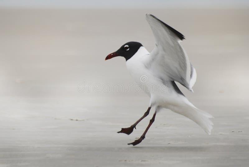 Een zwart-witte zeemeeuw die binnen voor het landen op het strand komen stock afbeelding