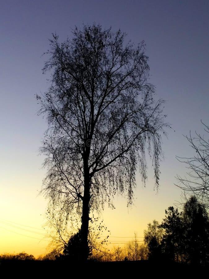 Een zwarte berkboom op de gele zonsondergangachtergrond royalty-vrije stock foto