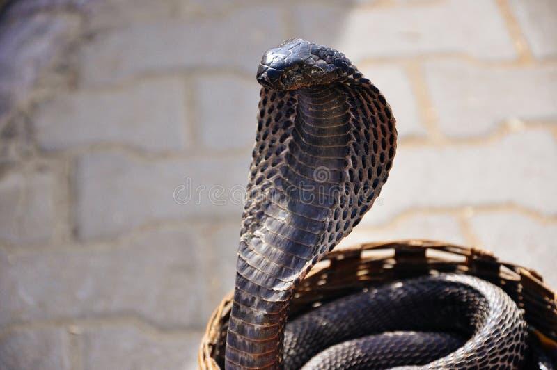 Een zwarte cobra in Jaipur, India stock foto's