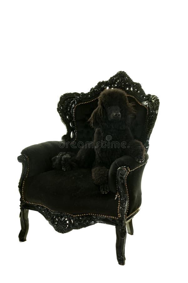 Een zwarte die koningspoedel in witte zitting in een zwarte barokke leunstoel wordt geïsoleerd stock afbeelding