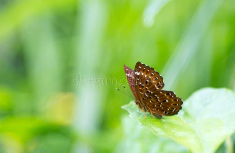 Een zwarte doted bruine vlinder stock fotografie