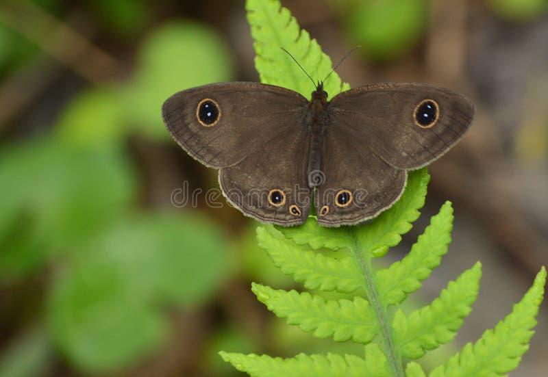 Een zwarte doted bruine vlinder op Pterophyta-blad royalty-vrije stock foto