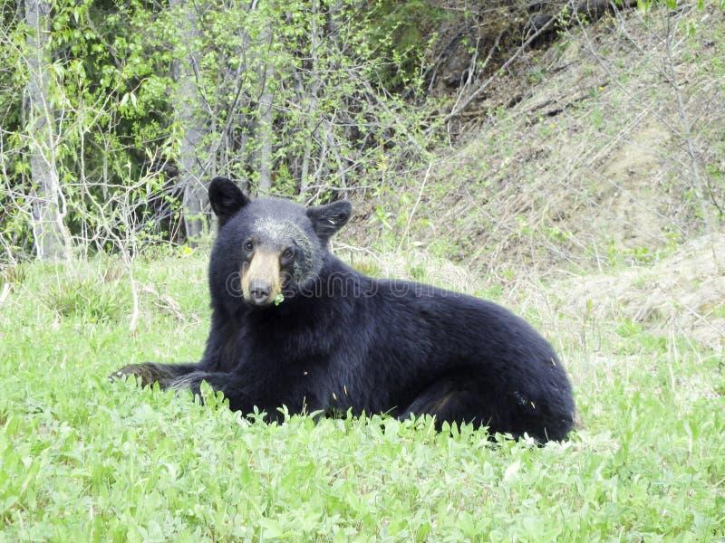 een zwarte draagt in het bos stock foto's
