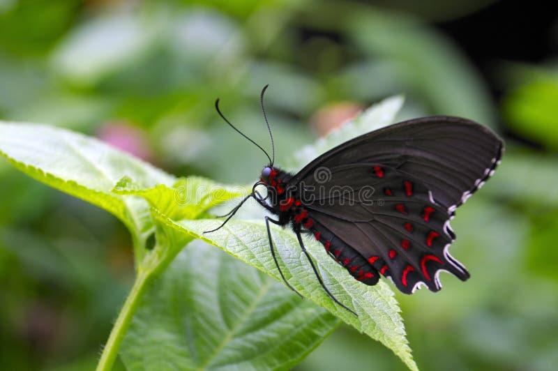 Een zwarte en rode vlinder stock afbeeldingen